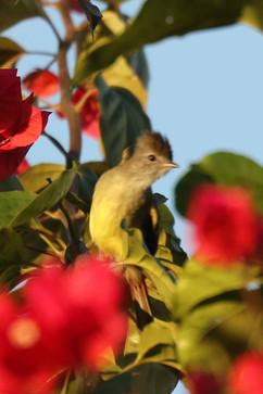 Yellow bellied Elaenia.jpg