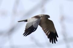Marsh Harrier.jpg
