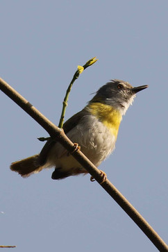 Yellow-breasted apalis.jpg