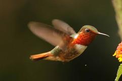 Scintillant Hummingbird E.jpg