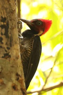 Pale-billed Woodpecker (f).jpg