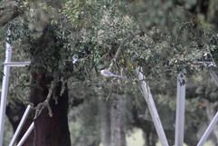 Azure-winged Magpie.jpg