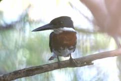 Amazon Kingfisher .jpg