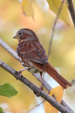 Fox sparrow.jpg