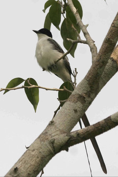 Fork Tailed Flycatcher.jpg