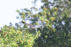 Northern Harrier (m).jpg