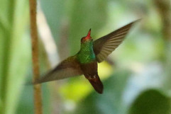 Buff bellied Hummingbird .jpg