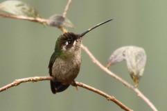 Magnificient Hummingbird (f).jpg