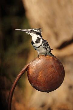 Pied Kingfisher (f).jpg