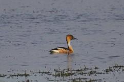 Fulvous Whistling-Duck.jpg