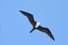Magnificent frigate Bird (f).jpg
