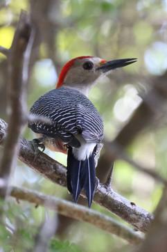 Golden fronted woodpecker .jpg