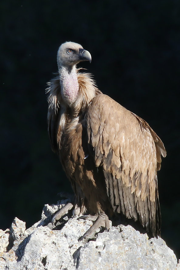 Griffon Vulture.jpg