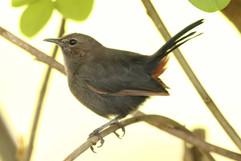 Indian Robin (imm).jpg