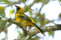 Yellow tailed Oriole.jpg