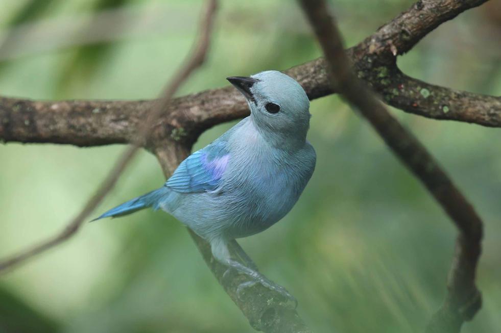 Blue-grey Tanager Trinidad.jpg