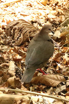 Olive-backed Quail-dove.jpg