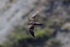 Elanora falcon.jpg