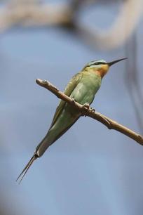 Blue cheeked bee-eater.jpg