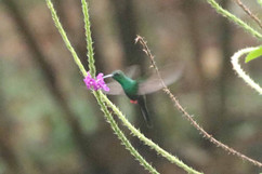 Bronze-tailed Plumeleteer.jpg