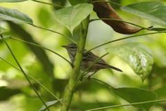 Arrow-headed Warbler.jpg