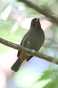 Lesser Antillean Bullfinch.jpg