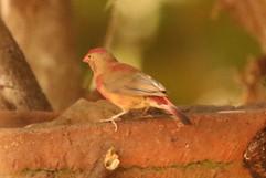 Red billed Firefinch m imm.jpg