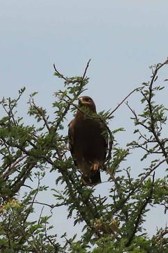 Western-banded Snake-Eagle.jpg