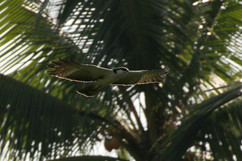 Peregrine Falcon - calidus.jpg