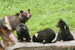 Brown Bear (Carpathian) (f and Cubs) (4)
