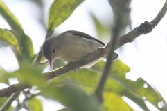Pale-billed Flowerpecker.jpg