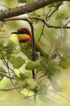 Chestnut-headed Bee-eater.jpg