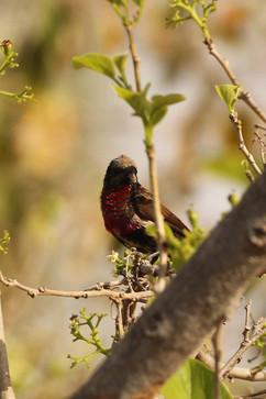 Scarlet chested Sunbird imm.jpg