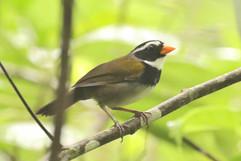 Orange billed Sparrow .jpg