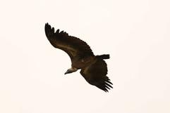 African White-backed Vulture (Juv).jpg