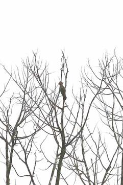 Lesser Yellownape Woodpecker - recoed sh