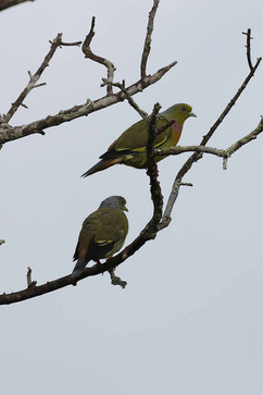 Orange-breasted Green Pigeon (m&f).jpg