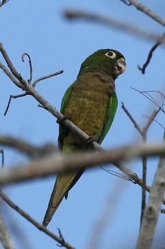 Olive throated Parakeet.jpg