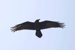 Brown-necked Raven.jpg