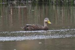 Mottled Duck.jpg