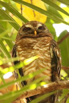 African Wood Owl rare.jpg