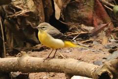 Yellow Wagtail-beema  (f).jpg