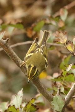 Pallas Warbler.jpg