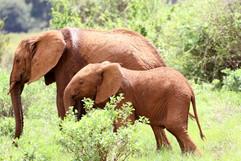 African Elephant (1).jpg