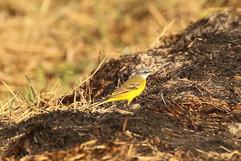 Yellow Wagtail iberiae br.jpg
