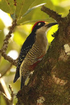 Black-cheeked Woodpecker.jpg