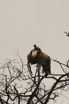 African White-backed Vulture.jpg