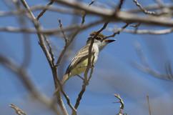 Brown-crested Flycatcher.jpg