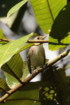Cestnut sided Warbler (alt f) .jpg
