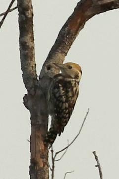 Brown-capped Pygmy Woodpecker.jpg